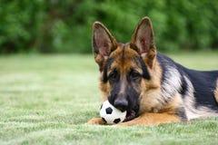γερμανικός ποιμένας σκυ&lam Στοκ Εικόνα