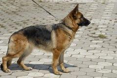 γερμανικός ποιμένας σκυ&lam Στοκ Φωτογραφίες