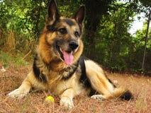 γερμανικός ποιμένας σκυ&lam στοκ φωτογραφία