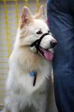 γερμανικός ποιμένας σκυ&lam Στοκ εικόνα με δικαίωμα ελεύθερης χρήσης