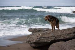 Γερμανικός ποιμένας στην παραλία στοκ εικόνες
