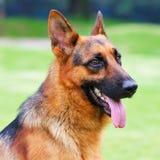 γερμανικός ποιμένας portrail σκυλιών Στοκ Εικόνα