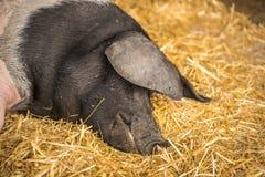 Γερμανικός ύπνος χοίρων στο σανό Στοκ Φωτογραφίες