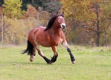 γερμανικό άλογο σχεδίων Στοκ Εικόνες