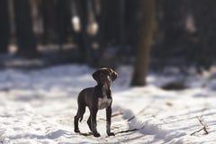γερμανικό κουτάβι δεικτώ Στοκ εικόνα με δικαίωμα ελεύθερης χρήσης
