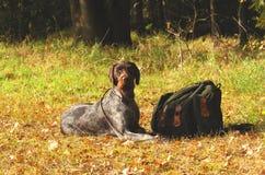 γερμανικό κυνήγι σκυλιών Στοκ φωτογραφία με δικαίωμα ελεύθερης χρήσης