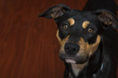 Γερμανικό μίγμα ποιμένων Rottweiler στο ξύλινο υπόβαθρο Στοκ Φωτογραφίες