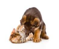 Γερμανικό παιχνίδι σκυλιών κουταβιών ποιμένων με λίγη γάτα της Βεγγάλης απομονωμένος Στοκ Φωτογραφία