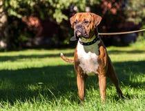 Γερμανικό σκυλί μπόξερ, νεολαίες, καθαρής φυλής Στοκ Φωτογραφίες