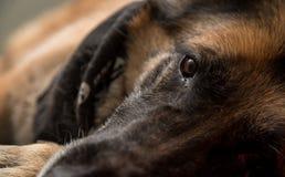 Γερμανικό σκυλί ποιμένων που εξετάζει τη κάμερα Στοκ φωτογραφίες με δικαίωμα ελεύθερης χρήσης