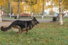 Γερμανικό σκυλί Shepard στοκ φωτογραφία με δικαίωμα ελεύθερης χρήσης