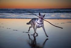 Γερμανικό σκυλί ποιμένων ποιμένων Shiloh Στοκ φωτογραφία με δικαίωμα ελεύθερης χρήσης