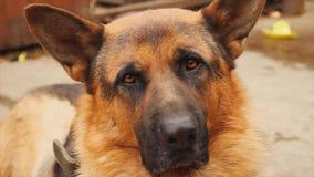 Γερμανικό σκυλί ποιμένων, πορτρέτο απόθεμα βίντεο
