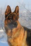 Γερμανικό σκυλί ποιμένων στο χειμερινό υπόβαθρο Στοκ εικόνα με δικαίωμα ελεύθερης χρήσης