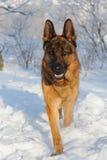 Γερμανικό σκυλί ποιμένων στο χειμερινό υπόβαθρο Στοκ Φωτογραφίες