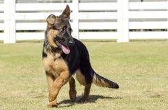 Γερμανικό σκυλί ποιμένων Στοκ φωτογραφία με δικαίωμα ελεύθερης χρήσης