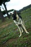 Γερμανικό σκυλί ποιμένων Στοκ Εικόνα