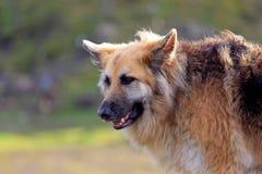 Γερμανικό σκυλί ποιμένων στοκ εικόνα με δικαίωμα ελεύθερης χρήσης