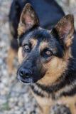 Γερμανικό σκυλί ποιμένων Στοκ εικόνες με δικαίωμα ελεύθερης χρήσης