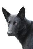Γερμανικό σκυλί  Στοκ Εικόνες