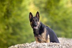 Γερμανικό σκυλί Shepard στοκ εικόνες
