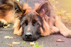 Γερμανικό τσοπανόσκυλο πορτρέτου με τα ενδιαφέροντα μάτια υπαίθρια στοκ εικόνες