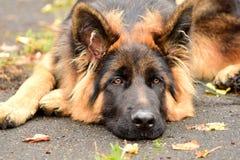 Γερμανικό τσοπανόσκυλο πορτρέτου με τα ενδιαφέροντα μάτια υπαίθρια στοκ φωτογραφίες