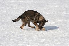 Γερμανικό τσοπανόσκυλο που τρέχει με το aport Στοκ Εικόνες