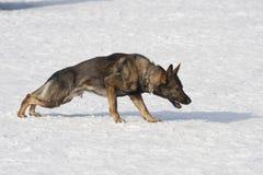 Γερμανικό τσοπανόσκυλο που τρέχει με το aport Στοκ φωτογραφίες με δικαίωμα ελεύθερης χρήσης