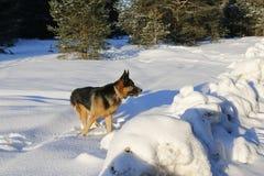 γερμανικό χιόνι ποιμένων σκυλιών Στοκ φωτογραφίες με δικαίωμα ελεύθερης χρήσης