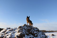 γερμανικό χιόνι ποιμένων σκυλιών Στοκ Φωτογραφίες
