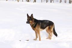 γερμανικό χιόνι ποιμένων σκυλιών Στοκ Εικόνα