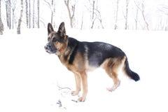 γερμανικό χιόνι ποιμένων σκυλιών Στοκ Εικόνες