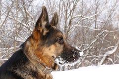 γερμανικό χιόνι ποιμένων σκυλιών Στοκ εικόνα με δικαίωμα ελεύθερης χρήσης