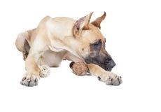Γερμανικό dogge Στοκ φωτογραφίες με δικαίωμα ελεύθερης χρήσης