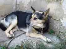 Γερμανικό Shepard σε μια αλυσίδα Σκυλί που βρίσκεται στο έδαφος και που εξετάζει την απόσταση στοκ εικόνες με δικαίωμα ελεύθερης χρήσης
