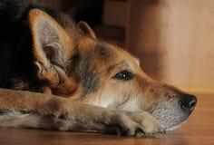 γερμανικό shepard Στοκ εικόνες με δικαίωμα ελεύθερης χρήσης