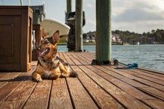 γερμανικό shepard Στοκ φωτογραφία με δικαίωμα ελεύθερης χρήσης