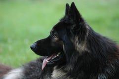 γερμανικό shephard Στοκ φωτογραφία με δικαίωμα ελεύθερης χρήσης
