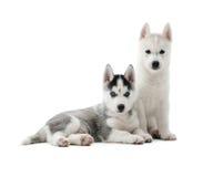 Γεροδεμένα κουτάβια όπως το λύκο με το γκρίζο και άσπρο χρώμα της γούνας Στοκ εικόνες με δικαίωμα ελεύθερης χρήσης