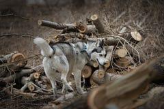 Γεροδεμένα σκουλήκια μεταξύ των πριονισμένων δέντρων Στοκ Εικόνες