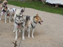 Γεροδεμένα σκυλιά σε ένα έλκηθρο το καλοκαίρι στο πάρκο, ηλιόλουστη ημέρα στοκ φωτογραφίες με δικαίωμα ελεύθερης χρήσης