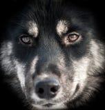 Γεροδεμένη κινηματογράφηση σε πρώτο πλάνο πορτρέτου σκυλιών Στοκ Εικόνα