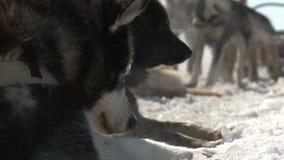 Γεροδεμένη στήριξη σκυλιών, που κοιμάται στο χιόνι απόθεμα βίντεο