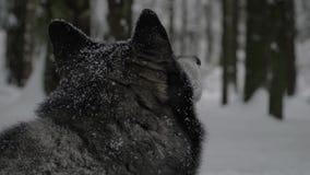 Γεροδεμένος βρίσκεται στο χιόνι και κοιτάζει γύρω απόθεμα βίντεο
