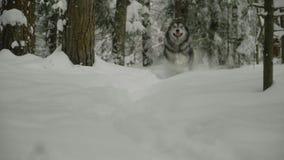 Γεροδεμένος χιονώδη δασικά τρεξίματα χαρωπά προς απόθεμα βίντεο