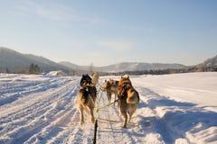 Γεροδεμένο έλκηθρο σκυλιών Χαριτωμένο γεροδεμένο sledding σκυλί Σιβηρικός γεροδεμένος ανταγωνισμός αγώνων σκυλιών ελκήθρων Άποψη  στοκ φωτογραφία με δικαίωμα ελεύθερης χρήσης