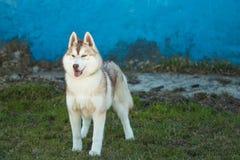 Γεροδεμένο γκρίζο σκυλί στην πράσινη χλόη Στοκ Φωτογραφίες