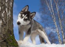 γεροδεμένο κουτάβι Σιβηριανός Στοκ φωτογραφίες με δικαίωμα ελεύθερης χρήσης