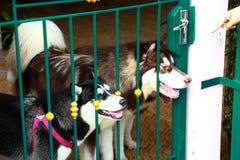 Γεροδεμένο σκυλί δύο Στοκ Φωτογραφία